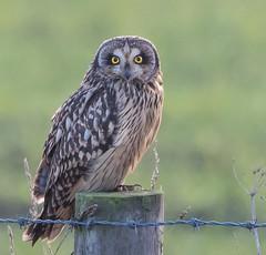 Short-eared Owl (Lutra56) Tags: shortearedowl owl asioflammeus britishbirdsandwildlife bird birdsofprey