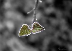 Frozen hearts (peregrinacr) Tags: plant leaves frozen winter