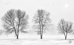 Snow storm (firstlookimages.ca) Tags: weather art artistic artisticmanipulation nature naturephotography digitalphotography digitalmanipulation photography outdoors winter snow snowing snowstorm bw blackandwhite blackwhite trees blizzard