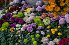 Chrysanthemen überall (KaAuenwasser) Tags: chrysanthemen blüten blumen pflanzen bunt zierblumen zier