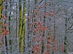 Winter 090119-10a (martinritter1) Tags: winter frost schnee kälte buche laubbaum