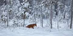 Red Fox (Nigey2) Tags: fox snow hunting winter