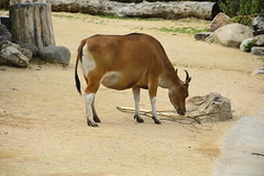 Chester Zoo Islands (1272) (rs1979) Tags: chesterzoo zoo chester islands banteng