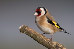 Stieglitz / Goldfinch (@Thomas Neuber) Tags: goldfinch stiglitz colorful bird natur vogel wildlife switzerland backyard stieglitz distelfink
