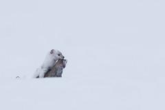 Hermelin 19144 (bertheeb) Tags: hermelin wildtiere nikon d750 500mmvr