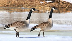 Canada geese at Lake Meyer Park IA 653A3369 (lreis_naturalist) Tags: canada geese lake meyer park winneshiek county iowa larry reis