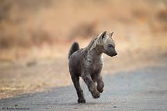 Hyena pup (leendert3) Tags: leonmolenaar southafrica krugernationalpark wildlife nature mammals hyena ngc npc coth5