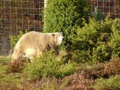 Polar bear cub, 2018 Oct 31 -- photo 7 (Dunnock_D) Tags: britain gb highland highlands uk unitedkingdom wildlifepark bear grass green polar trees kingussie scotland