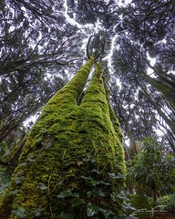 Look Above... (jorgeverdasca) Tags: natureza nature moss green goth mist tree woodland forest sintra portugal gopro