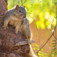 Squirrel Sexy Pose (suzeesusie) Tags: squirrel tree wildlife outdoors animal los angeles california foxsquirrel nature cute face canon7d