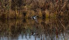 Flyr (real.jtj) Tags: bird birds family woods wildlife natur skog svan fågel fåglar falun hosjö sverige sweden