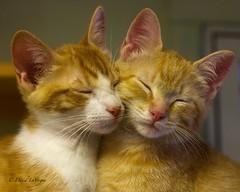 Barney and Shorty, Rescued Orphaned Kittens. (David LaVergne) Tags: rescue cats adorable sleepy cute kittens kitties kitten cat mitakon 35mm f095 orphan kittysuperstar