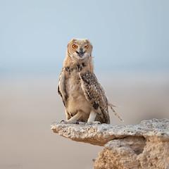 Pharaoh Eagle Owl - بومة الصحاري - البومة النسارية (معضاد) Tags: pharaoh eagle owl بومة الصحاري البومة النسارية pharaoheagle بومةالصحاري البومةالنسارية lesnafi qatarbird