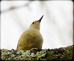 DSCN3571 (DianeBerky19) Tags: nikon coolpixp1000 bird woodpecker backyardbird redbelliedwoodpecker tree lichen