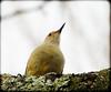 DSCN3571 (DianeBerky19) Tags: nikon coolpixp1000 bird woodpecker backyardbird redbelliedwoodpecker tree lichen