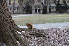 Fox Squirrels in Ann Arbor at the University of Michigan - January 10th, 2019 (cseeman) Tags: gobluesquirrels squirrels foxsquirrels easternfoxsquirrels michiganfoxsquirrels universityofmichiganfoxsquirrels annarbor michigan animal campus universityofmichigan umsquirrels01102019 winter eating peanuts acorns januaryumsquirrel