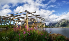 "Wooden racks or ""hjell"" in Reine (marko.erman) Tags: norway nordland reine village fishermen sea mountains water clouds beautiful sony scenic idyllic nature outdoor outside travel popular quiet serenity drying flake pure landscape nordic steep lofoten stockfish hjell woodenracks cod fish foodpreservation"
