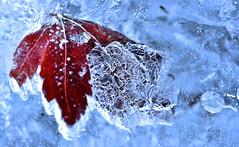 Frozen Leaves #15 (daniel0027) Tags: frozen ice valley winter frozenleaf palmatemaple fallenleaves nature leaf mapleleaf airbubbles redleaf macrolens
