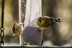 BackyardBirds_1-21-19-48 (RobBixbyPhotography) Tags: florida goldfinch jacksonville backyard birds