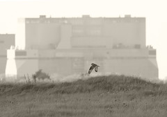 Hinckley and the Owl (Avian Sky) Tags: shortearedowl owl bird somerset hinckley monochrome 7d canon aviansky asioflammeus