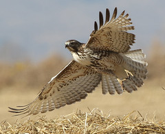 Wings Wide Open (Bill G Moore) Tags: birdofprey nature photographyred tail hawk raptor wild wildlife colorado canon