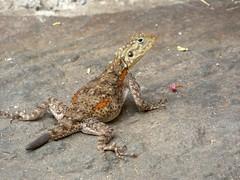 Red-headed Rock Agama (Agama agama) female (Linda DV) Tags: agama lizard reptilia lindadevolder africa 2018 lumix travel geotagged nature kenya fauna baringo lake