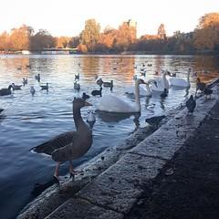Hyde Park (basiamarcisz) Tags: londyn london hydepark lake jezioro woda kaczki łabędź ptaki duck swan bird birds
