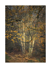 New Forest, Autumn (Geoff Kell (Old Forest Man)) Tags: autumn newforest trees woodland hampshire