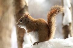 Happy Furry Friday! (Marie-Josée Lévesque) Tags: animal écureuil squirrel écureuilroux faune wildlife nature hiver winter neige snow québec canada animalportrait