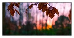 sunrise pano (ianmiddleton1) Tags: pollokpark glasgow panorama winter leaf leaves nature hss sliderssunday