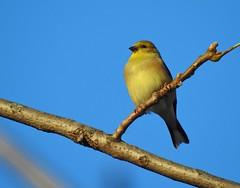 Nikon P900, Birds, Botanical Gardens, Montréal, 4 November 2018 (8) (proacguy1) Tags: nikonp900 birds botanicalgardens montréal 4november2018