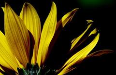 Słonecznik bulwiasty. (andrzejskałuba) Tags: poland polska pieszyce plant panasonicdmcfz200 lumix dolnyśląsk silesia sudety europe roślina kwiat flower słonecznikbulwiasty jerusalemartichoke yellow żółty zieleń green garden ogród macro beautiful color flora floral natura nature natural natureshot natureworld cień shadow 100v10f 1000v40f 1500v60f