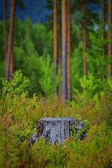Swedish forests (Klas-Herman Lundgren) Tags: gagnef gimmen midsummer sverige sweden dalarna dalaskogarna firande forest midsommar skog sommar summer green uppsala