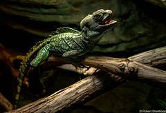 Happy (Robert Streithorst) Tags: cincinnatizoo green lizard robertstreithorst zoosofnorthamerica