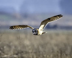 Short-Eared Owl, Skagit Valley, Skagit County Washington USA (Hawg Wild Photography) Tags: shortearedowl skagitvalley skagitcountywashingtonusa raptor animal bird nature wildlife terrygreen hawgwildphotography