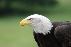 IMG_1457 (Stefan Kusinski) Tags: hemsley duncombe ncbp birdofprey