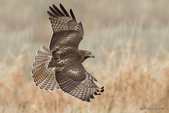 RTH - top view (Earl Reinink) Tags: hawk raptor bird animal flight flying winter field landscape wings nature wildlife earlreinink earl reinink nikon ourdhdadea