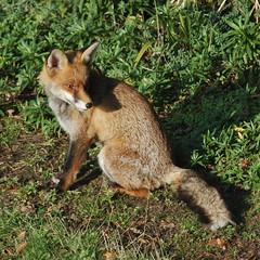 Today's foxy shot in the winter sun (Kirkleyjohn) Tags: fox animals
