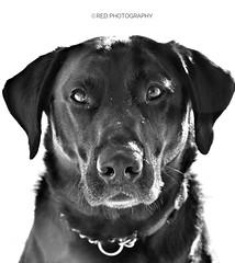 Look into my eyes (julz.adams) Tags: getty face aberdeen eyes beautiful white black labrador dog