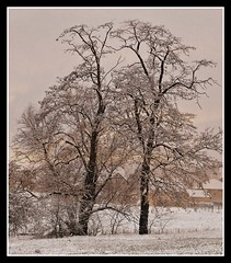 Winter (patrick.verstappen) Tags: p photo picassa pinterest patrick verstappen gingelom google garden snow trees white belgium nikon d5100 january arbres art xxx yahoo facebook flickr ipernity ipiccy image imagine clear today people pure tree traum winter cold freezing patrickverstappen bélgica