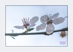 Blossom (kishwphotos) Tags: shrub riverbrent naturalworld whiteflower london plants naturalhistory blackthorn city hanwell river fitzherbertwalk shrubs faunaandflora blossom brook canal geology gorge nature stream
