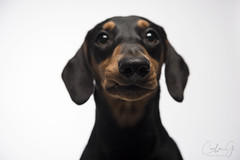Nugget (carla ghysels) Tags: dachshund highkey dog dogs petphotography pet puppy portrait studiophotography studio