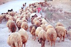 Shepherd (nadeen_aljamal88) Tags: amman jordan shepherd travel traveling tourism goat goats animal animals nature natural ladnscape view