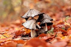(nettisrb) Tags: pilz autumn mushroom herbst laub fall