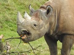 Tasty (Simply Sharon !) Tags: blackrhino rhino savetherhino animal yorkshirewildlifepark
