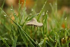 morning dew............ (atsjebosma) Tags: nature morningdew dauw drops grass mushroom druppels gras paddenstoel atsjebosma autumn herfst 2018 macro november ngc npc