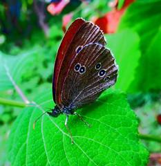 Бабочка (lvv1937) Tags: бабочка насекомосад exploré