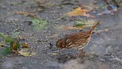 Fox Sparrow (mausgabe) Tags: olympus em1 olympusm40150mmf28 olympusmc14 nyc centralpark theramble foxsparrow