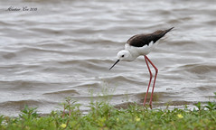 Black-winged Stilt (Animal Al 18) Tags: blackwingedstilts stilt blackwingedstilt himantopus himantopushimantopus canon canon70d canontamron canonwildlife tamron150600mm tamronwildlife tamron tamron150600 tamronbirds africa africanwildlife africanbirds southafrica southafricawildlife southafricabirds kruger krugernationalpark krugerwildlife krugerpark krugerbirds sunsetdam
