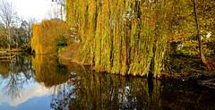 AUTUMN REFLECTIONS (chris .p) Tags: ludlow shropshire england nikon d610 view capture river teme colour trees autumn 2018 uk november tree scene riverteme water reflections reflection